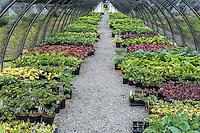 Shade perennials in a nursery