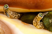 Spider Conch eyes (Lambis lambis), Yap, Micronesia.