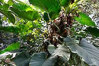 Tropical Rainforest Glasshouse (formerly Le Jardin d'Hiver or Winter Gardens), 1936, René Berger, Jardin des Plantes, Museum National d'Histoire Naturelle, Paris, France. Detail of Philodendron giganteum in the morning light.