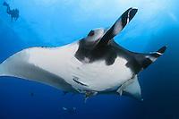 QT2468-D. Manta Ray (Manta birostris). Baja, Mexico, Pacific Ocean.<br /> Photo Copyright &copy; Brandon Cole. All rights reserved worldwide.  www.brandoncole.com
