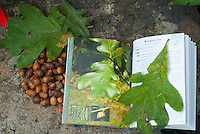 Identifying trees: Blackjack or Scrub Oak leaves and acorns Quercus marilandica with tree identification book, Trees of Pennsylvania Field Guide by Stan Tekiela