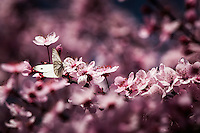 A white butterfly takes a break from fluttering to pause on a pink cherry blossom at Redwood Regional Park in Oakland, California.
