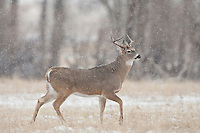 Whitetail deer (Odocoileus virginianus) with busted antler during rut