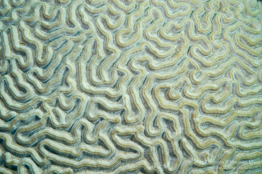 Bonaire, Netherlands Antilles; a close-up view of Boulder Brain Coral (Colpophyllia natans) forms a maze like pattern , Copyright © Matthew Meier, matthewmeierphoto.com All Rights Reserved