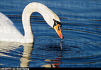 Mute swane (Cygnus olor), a white swan, taking head up of waterwith dripping water from bill in close-up. In lake.