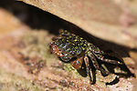 Cabrillo National Monument, Point Loma, San Diego, California; a Striped Shore Crab (Pachygrapsus crassipes) emerges from the crack in the rocks, ranges from Oregon to Baja California, spends at least half its time on land, but submerges now and then to wet its gills and feed