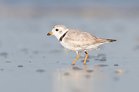 Piping Plover (Charadrius melodus), Nickerson Beach, Lido Beach, New York