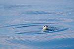 A harbor seal pup (Phoca vitulina) greets a passing boat.