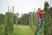 Scott King stands next to bines at NCSU's Hops Field Monday July 9th 2012.