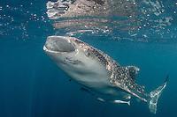 Whale Shark, Rhincodon typus, feeding at the surface. Kwatisore, Cenderawasih Bay, West Papua, Indonesia, Pacific Ocean
