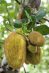 Anda, Bohol, Philippines; jackfruits growing on a tree
