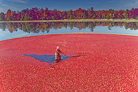 New Jersey - Cranberry Harvest