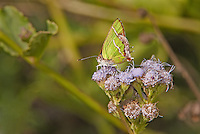 345320001 a wild silver-banded hairstreak butterfly chlorostrymon simaethis at  the naba site in mission hidalgo county lower rio grande valley texas united states