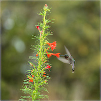 The first hummingbird of the season appeared on this Saturday morning. I waited him out and captured this Texas wildflower picture with Texas Sage and a little hummer zooming around. These little guys seem to love my red sage. I have property filled with wildflowers, but the hummingbirds go straight to this particular Texas Wildflower everytime.