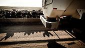 """Mead, Kansas, USA, August 2011:.Early morning at the feedyard.  Millions of cows are gaining weight in feedyards across the region, where four huge meatpacking plants of National Beef, Cargill and Tyson slaughter and process about 20 thousand cattle a day. Kansas dominates American beef industry, by producing one quarter of all beef in the USA..(Photo by Piotr Malecki / Napo Images)..Mead, Kansas, Stany Zjednoczone, Sierpien 2011:.Jedna z tuczarni bydla zwanych """"feedyards"""". W tym rejonie jest mnostwo takich tuczarni, by zaopatrywac cztery wielkie zaklady miesne nalezace do firm National Beef, Cargill i Tyson. Zaklady te przerabiaja razem okolo 20 tysiace sztuk bydla dziennie.  Stan Kansas zdominowal rynek wolowiny w Stanach Zjednoczonych, produkujac jedna czwarta calej amerykanskiej wolowiny. Amerykanski przemysl miesny jest bardzo uzalezniony od taniej sily roboczej, ktora daja emigranci..Fot: Piotr Malecki / Napo Images."""