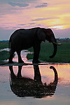 Africa, Botswana, Savute. Elephant reflection in Chobe National Park.