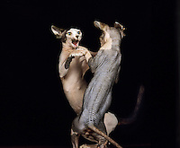 Hairless Sphynx Domestic Cats fighting