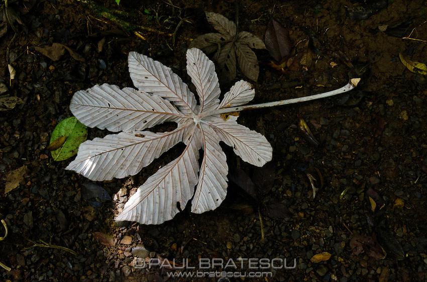 Cecropia leaf, Costa Rica