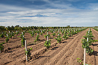 Young vines in vineyard at St Emilion in Bordeaux wine region of France