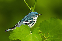 591730004 a wild male cerulean warbler songbird setophaga cerulea - was dendroica cerulea - perches in thick brush on south padre island cameron county texas