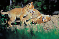 Wild Coyote (Canis latrans) pups play near densite.  Western U.S., June.