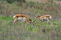 673080117 wild pronghorn antilocarpa americana graze and interact on a grassy hillside near canadian texas united states
