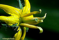 HS09-019a  Tomato - flower, immature ovary
