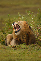African Lion (Panthera leo) male  yawning, Masa Mara, Kenya