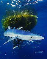 blue shark, Prionace glauca, juvenile, with school of jack mackerel, Trachurus symmetricus, under drifting kelp paddy, San Diego, California, USA, Pacific Ocean