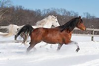 We put this pair of Arabians belonging to my horse trainer friend Cindy into a small paddock to run and let off some steam. They had been in the barn for the past two days as the storms went over, so they were extra ready to rip and go in the full sun and fourteen inches of powder snow Mother Nature had left behind. Many horses are excited by snow and really want to be out in it, just like any third grade kid with a new sled, and these two were no exception as they kept going round and round at a steady run, often side by side just like this image. There's nothing quite like a horse making the snow fly as it runs!<br />