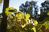 Leaves on a grape vine are backlit by afternoon light outside of Willits in Mendocino County in Northern California.