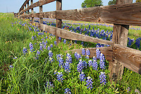Old wood fence outlines a field of bluebonnets (Lupinus texensis) and Indian Paintbrush (Castilleja) wildflowers at a ranch near Independance, Texas