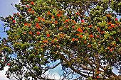 This orange 'ohi'a lehua tree grows on a ranch at a 4,000-ft elevation in Volcano, island of Hawai'i.