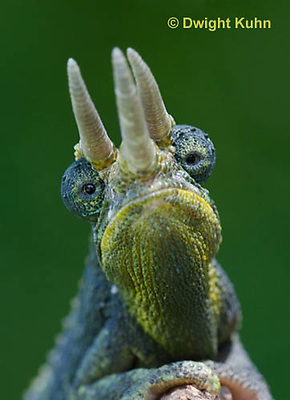 CH35-594z  Male Jackson's Chameleon or Three-horned Chameleon, close-up of face, eyes and three horns, Chamaeleo jacksonii