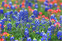 Nothing like a burst of color on a spring day. These blueboonnets and Indian Paintbrush make for a dazzling display (and print) of Texas wildflowers at their best.