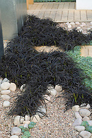 Black mondo grass (Ophiopogon planiscapus 'Nigrescens' with sempervivums in pebbles