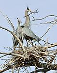 A great blue heron nesting pair, latin: Ardea herodias, build their nest.  Colorado