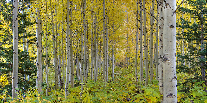 I had traveled to the Maroon Bells Wilderness to capture the Maroon Bells at sunrise. Soon after, I found myself hiking in a forest of gold. The colors were intense and amazing as seen in this image from the Maroon Bells Wilderness area near Aspen, Colorado.