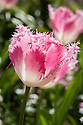 Tulip 'Huis Ten Bosch' (Fringed Group), late April. Named after the Huis ten Bosch palace in the Hague, one of the three official residences of the Dutch royal family.