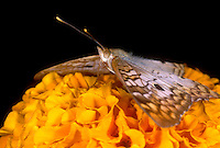 378620004 a captive white peacock butterfly anartia jatrophe on yellow orange flower in a butterfly garden in southern california