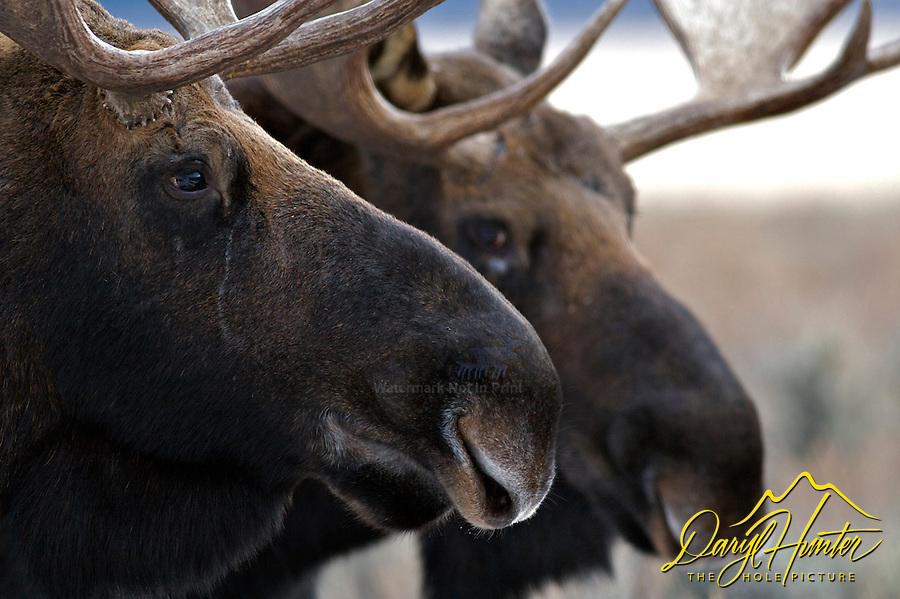 Two Bull Moose, Grand Teton National Park