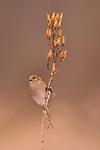 Goldfinch on Royal Catchfly