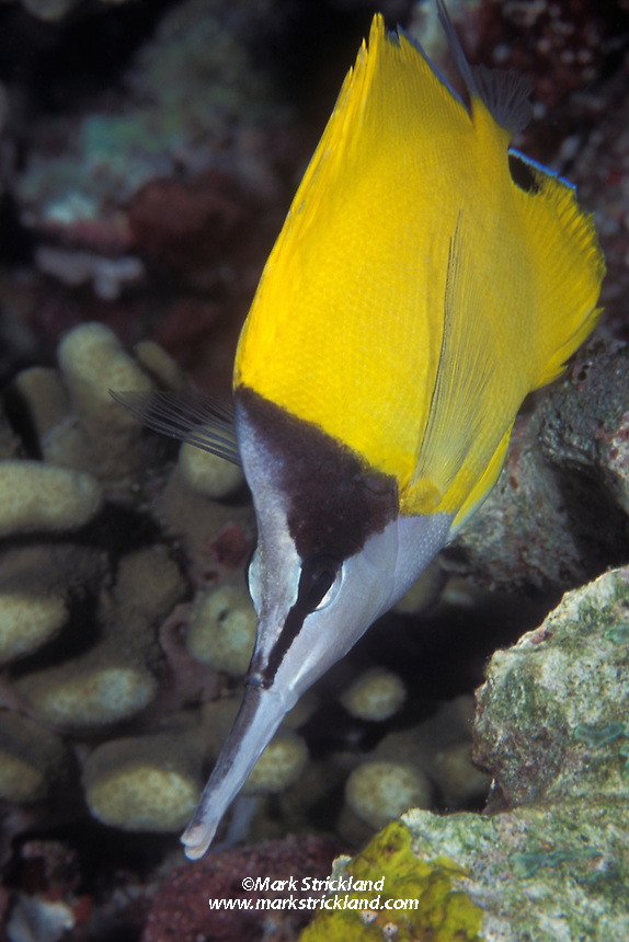 Appropriately named, a Long-nosed butterflyfish, Forcipiger longirostris, forages amidst coral rubble.  Andaman Sea.