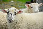 June 6, 2012; Sheep on Inishbofin Island, Ireland..Photo by Matt Cashore/University of Notre Dame