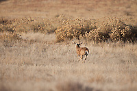 Whitetail deer (Odocoileus virginianus)running buck