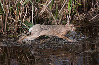 European Brown Hare (Lepus europaeus) adult running in water, Normandy, France.
