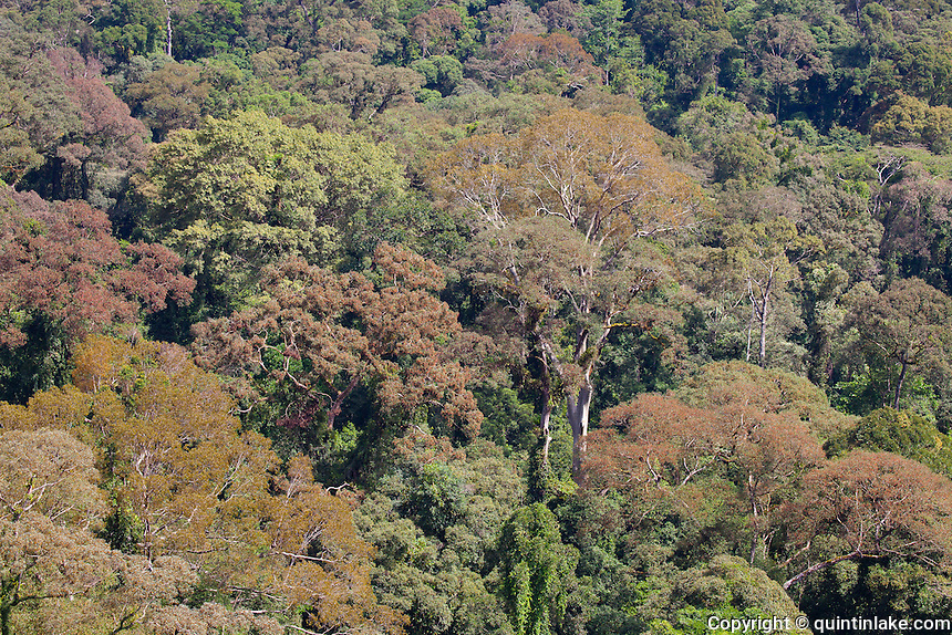 Danum Valley Conservation Area is a 438 square kilometres tract of relatively undisturbed lowland dipterocarp forest in Sabah, Malaysia. The area holds unique status in the sense that before it became a conservation area there were no human settlements within the area, meaning that hunting, logging and other human interference was non existent making the area almost unique