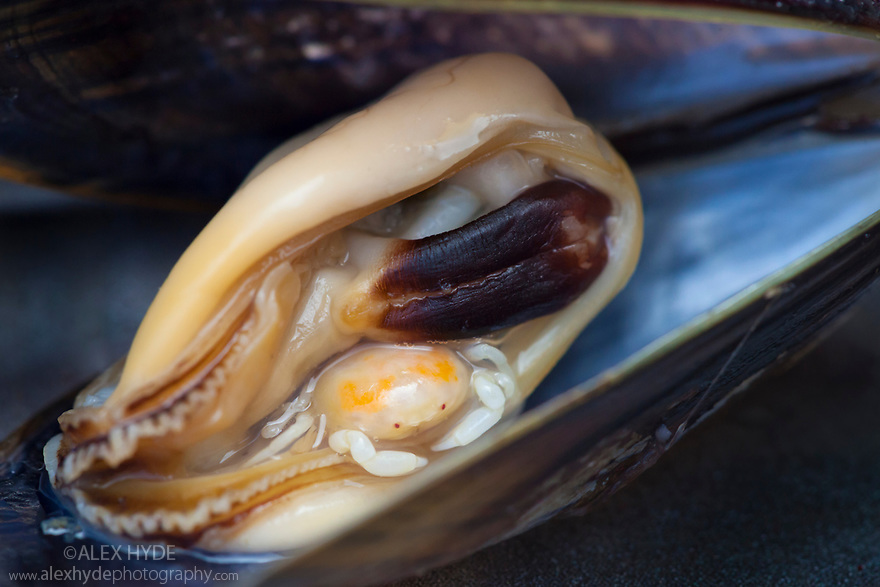 Pea Crab (Pinnotheres pisum) inside a Common Mussel (Mytilus edulis). This small crab parasitises a number of bivalve species including mussels, living in the host's mantle cavity. Nomandy, France. July.