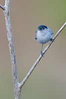 536360004 a wild male california gnatcatcher polioptila californica a federally threatened species perches on a dead twig in open space protected habitat los angeles county california