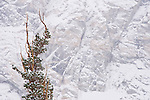 Tree against snow covered cliff at Gem Lake, John Muir Wilderness, Sierra Nevada Mountains, California